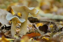 Bokeh automnal !! (thierrymazel) Tags: champignons mushrooms nature sousbois foret automne autumn bokeh pdc dof profondeurdechamp