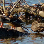 American Black Duck with Mallards thumbnail