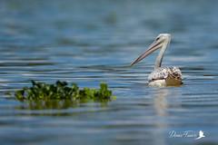 Pélican blanc - Pelecanus onocrotalus - Great White Pelican (denisfaure973) Tags: baringo pelican lacbaringo