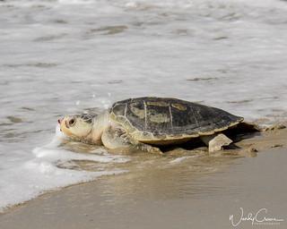 Loggerhead Sea Turtle - Return to the Sea