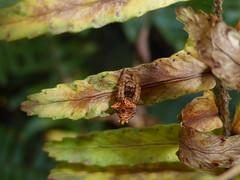 Rustic Rust Drop (tessab101) Tags: spider arachnid arthropods orb weaver australia blue mountains nsw warrimoo spring bluemountains eriophora pustulosa