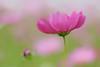 秋桜 (mizuk@) Tags: japan mie flower cosmos autumn colorful canon 三重 伊賀 花 コスモス 秋桜