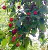 Berries on Dogwood Tree (Posterized) (randubnick) Tags: art photograph photography dogwood berries longhill beverlyma painter posterized