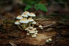 city of fungi (photos4dreams) Tags: fungi19102017p4d gersprenz landschaft münster hessen photos4dreams p4d photos4dreamz susannahvvergau nature natur canoneos5dmark3 canoneos5dmarkiii fungi fungus mushroom mushrooms pilz pilze