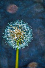 fluff (avflinsch) Tags: ifttt 500px flower fairy weed dandelion wish sparkle fluf