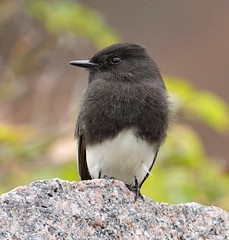 Guardian of the Rock (dzittin) Tags: black phoebe sayornis nigricans bird flycatcher white