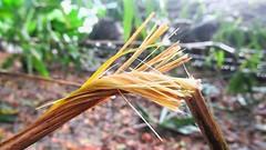 #nature #morning #rain #flora #leaf #outdoors #growth #grass #tree #fall #summer #environment (AyonSaha_Jr) Tags: wicker bamboo nature morning outdoors grass rain growth tree fall environment