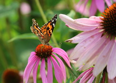 Canadian Painted Lady (abrideu) Tags: abrideu canon canada paintedlady butterfly vlinder coneflower quebec insect outdoor macro depthoffield bokeh flower ngc npc