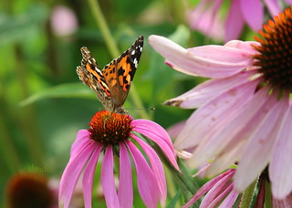 Canadian Painted Lady