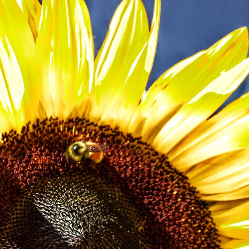 Lake Placid New York ~ Sunflower and Bee ~ Macro