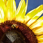 Lake Placid  New York ~ Sunflower and Bee ~ Macro thumbnail