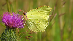 Gonepteryx Rhamni - 2 - 35mm (Visual Stripes) Tags: butterfly thistle insect nature macro 35mmmacro olympus