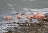 Chile. (richard.mcmanus.) Tags: chile torresdelpaine patagonia birds animals gettyimages mcmanus southamerica flamingos