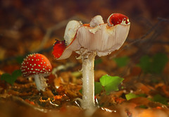 nature sculptures (HocusFocusClick) Tags: flyagaric mushrooms nature sculptures forestfloor naturesart red spotted white leaves fall autumn fantasticnature