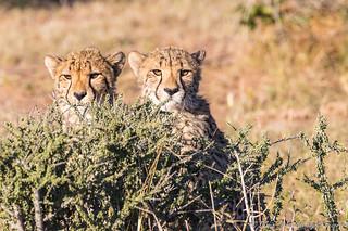 Cheetah Cubs-0153-2