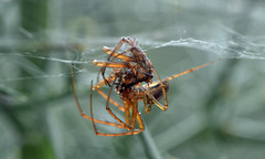 2 male Metellinas (conall..) Tags: metellina spider males fight male