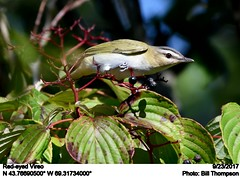 Red-eyed Vireo (Bill.Thompson) Tags: redeyedvireo vireoolivaceus me birds