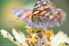 """""""excuse me ma'am, is this flower taken""""? (Brian M Hale) Tags: bee bees apiary butterfly butterflies paintedlady painted lady insect nature outside outdoors natural wild flower flowers tower hill botanical botanic garden boylston ma mass massachusetts newengland new england usa brian hale brianhalephoto sharing"""