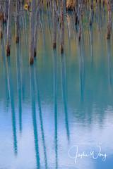 Biei - Blue Pond (ジェイリー) Tags: biei hokkaido japan 日本 秋葉 戶外 植物 樹 安詳 青い池 美瑛 北海道 上川郡 白金の青い池 美瑛白金青い池 hokkaidoprefecture