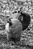 galinha-d'angola - numida meleagris (ricardo japur) Tags: birds wild nature galinha dangola