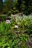 Darmera peltata (dracophylla) Tags: royaltasmanianbotanicalgardens lilypond saxifragaceae darmerapeltata