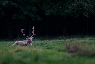 Attingham Buck at rest