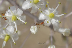 Ant crossing (David Lev) Tags: nirim mygarden flower urginea urgineamaritima ant macro