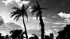 Two Palms (Michel Curi) Tags: trees palms palmtrees sky clouds bw blackandwhite monochrome monomonday florida lovefl two couple hurricaneirma hurricane irma pinellasirma nature
