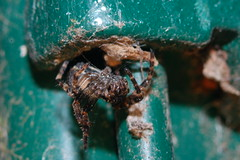 Arachtober 18 (Procrustes2007) Tags: spider nuctenea arachnid nucteneaumbratica arachtober nikond50 nikkor50mmais tamron2xteleconverter vivitarextensionrings68mmtotal flash greatcornard suffolk uk britain england macro walnutorbweaver