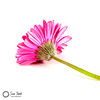 Pink Gerbera - an alternative angle (Sue_Todd) Tags: colours commercialphotographer flower flowers gerbera photographer pink singleflower suetodd suetoddphotography typesofpicture vegetation foodphotographer pembe pinkki pinks productphotographer roosa rosa rose roses rosy roze rozig różowy vaaleanpunainen