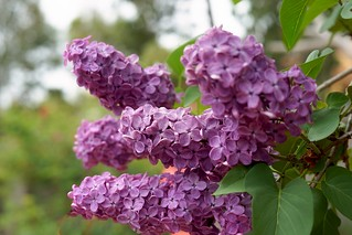 Fragrant Purple lilac in my backyard