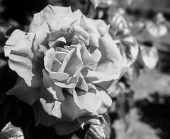 20171024_5515_1D3-24 Red Rose in Monochrome (johnstewartnz) Tags: rose redrose canon canonapsh eos 1dmarkiii 1d3 1dmark3 24mm sigma24mm monochrome bw blackandwhite flower unlimitedphotos yabbadabbadoo yabbadabadoo