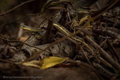 Nice Find! (lastminutephoto) Tags: larrymammone eastern garter snake surpise lake watchung reservation new jersey reptile branches twigs sticks limbs leaves autumn fall