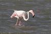 Flamingo (Phoenicopterus roseus) פלמינגו מצוי (RonW's Nature Photography (thanks for over 1 milli) Tags: flamingo phoenicopterusroseus phoenicopterus roseus פלמינגו מצוי bird birds birdwatching birding aves israel eilat animal wildlife nature canon 7dii 100400ii