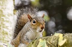 Parkwood Squirrel after being annoyed by a cat! 2 (philbarnes4) Tags: greysquirrel parkwood rainham kent england branch philbarnes animal rodent dslr nikond5500 wildlife