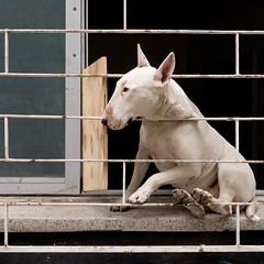 ein Hundeleben (zeh.hah.es.) Tags: hund dog fenster window gitter grid schwarz black weiss white chile südamerika southamerica lateinamerika latinamerica valparaiso