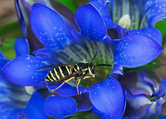 Into the Gentian (mishko2007) Tags: gentian wasp korea 105mmf28