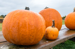Pumpkins (Washington State Department of Agriculture) Tags: wsdagov washingtonstatedepartmentofagriculture fall field pumpkin squash wsda
