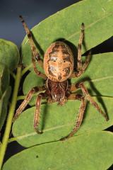 Arachtober 27 #1 - Furrow Orbweaver - Larinioides cornutus, Occoquan Bay National Wildlife Refuge, Woodbridge, Virginia (judygva) Tags: