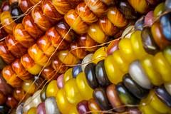 Multicolor maize (FotoFloridian) Tags: yellow food corn nature agriculture organic vegetable ripe corncrop closeup freshness healthyeating crop farm autumn vegetarianfood sony alpha a6000 macro tioga