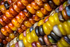 Multicolor maize (FotoFloridian) Tags: yellow food corn nature agriculture organic vegetable ripe corncrop closeup freshness healthyeating crop farm autumn vegetarianfood sony alpha a6000 macro tioga