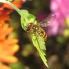 +IMG_5974 + Hím ékfoltos zengőlégy_cr (NagySandor.EU) Tags: törökbálint hungary hím male ékfoltoszengőlégy episyrphusbalteatus syrphidae zengőlégy