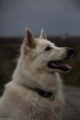 odin (alex.hartsema) Tags: hond dog herder pet huisdier duinen vlissingen walcheren nederland animal dier