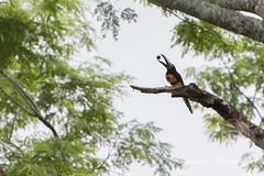 It's okay to play with your food! (Kiskadee Photography) Tags: collared aracari lamanai belize crookedtree centralamerica bird birding birder ornithology ornithologist