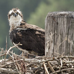 Osprey bird - Jamestowne Ferry  docks  Jamestown Williamsburg Va. thumbnail