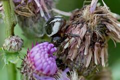 Südliche Glanz-Krabbenspinne (planetvielfalt) Tags: arachnida araneida araneomorphae auenwald chelicerata thomisidae schkeuditz sachsen deutschland