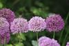 Pretty Maids All In A Row (Heaven`s Gate (John)) Tags: prettymaidsallinarow johndalkin heavensgatejohn flowers botanical closeup macro purple green baddesley clinton 25faves