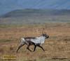 Hreindýr - Reindeer - Rangifer tarandus (raudkollur) Tags: ísland iceland hreindýr reindeer rangifertarandus nikopnd7200 nikkor200500mm