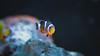 ◄ Finding Nemo - Dory ► (lin.chinhu) Tags: saigon saigonese vietnam vietnamimage vietnamese hcm city hcmcity photograph photographs photographer photography coffeeshop flickr canon 60d 50mm len fix lenfix fixed animal animalplanet cute little cutie nemo dory disney cool colorful sea home red blue