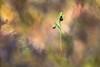 L'araignée. (SweeP_64) Tags: laraignée spider ophrys arnifera occidentalis fleur flower macro proxi nature cyrille masseys 6ril